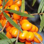 Полезные свойства ягоды облепихи и противопоказания