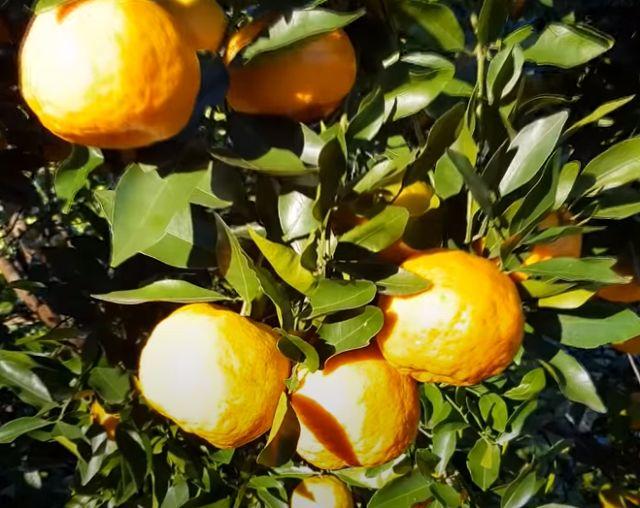 Житейские советы при покупке мандаринов